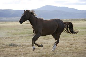 Cheval / Race 'Quarter Horse'