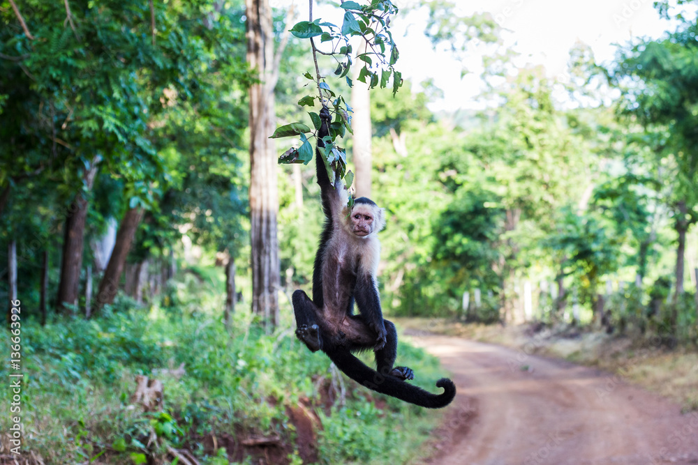 Valokuva  A white faced capuchin swings from a branch