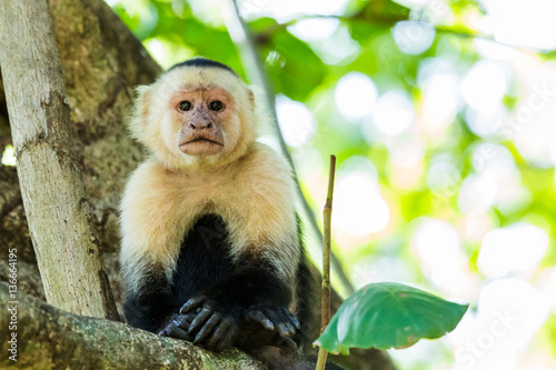 Photo  Portrait of a white faced capuchin