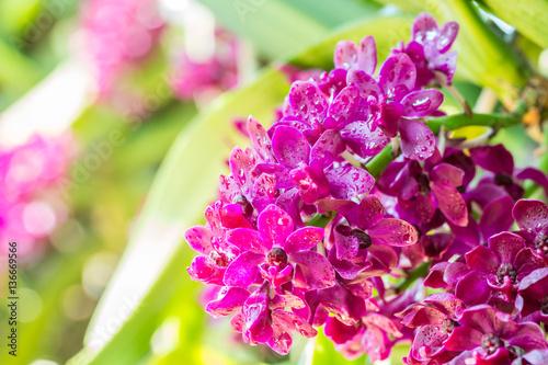 Staande foto Roze Red orchid, Rhynchostylis gigantea.