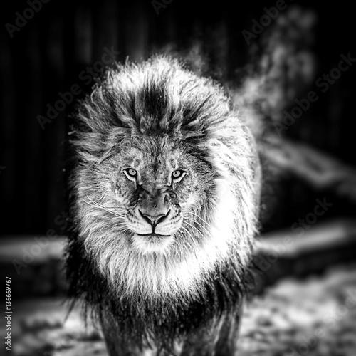 Recess Fitting Lion Portrait of a Beautiful lion