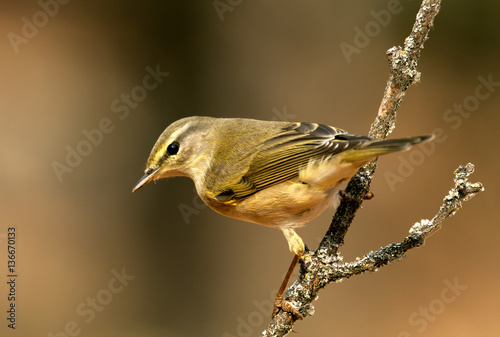 Willow warbler. Phylloscopus trochilus Fototapeta
