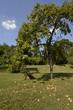 apfelbaum mit fallobst