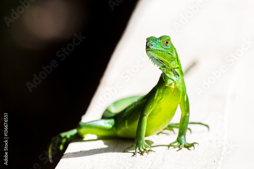 Valokuva  Juvenile Green Iguana