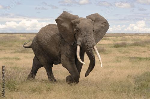 Loxodonta africana / Eléphant d'Afrique Canvas Print