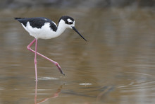 Black-necked Stilt (Himantopus...