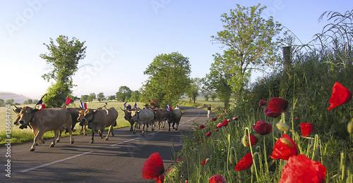 Papiers peints Vache Transhumance / Vache / Race : Aubrac