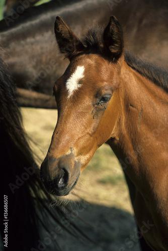 Fotografía  cheval de selle français