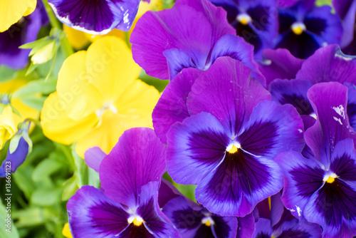 Papiers peints Pansies viola tricolor pansy