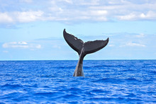 Humpback Whale Diving, Tail Ou...