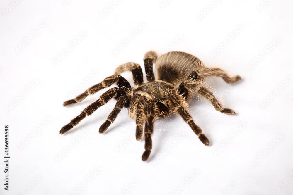 Fotografía Big spider tarantula is on a white background ...