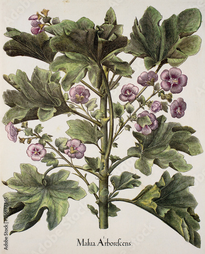 Illustration botanique / Lavatera arborea / Lavatère arborescente Canvas Print