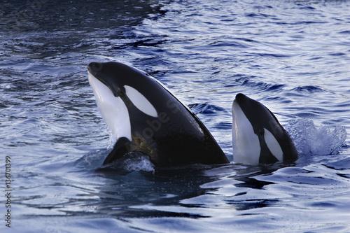 Obraz na plátně Orcinus orca / Orque / Orca
