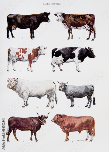 Poster de jardin Vache Illustration / Races de vaches