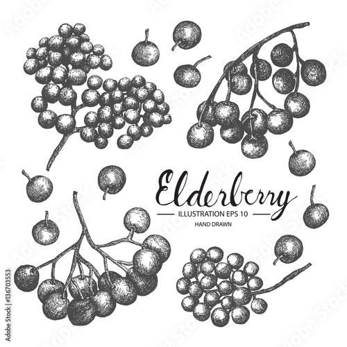 Elderberry hand drawn collection by ink and pen sketch. Isolated vector design for fruit and vegetable products and health care goods. Wall mural