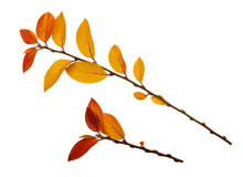 Autumn Twigs With Yellow And R...