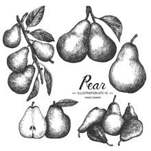 Pear Hand Drawn Collection By Ink And Pen Sketch. Isolated Vector Design For Fruit And Vegetable Products And Health Care Goods.