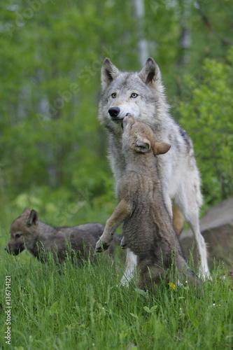 Fotografia, Obraz  Canis lupus lupus / Loup d'Europe