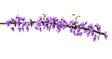 Isolated Blooming Spring Redbud Branch.