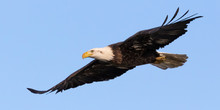 Bald Eagle Flyover