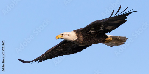 Canvas Prints Eagle Bald Eagle Flyover