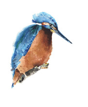 Bird Kingfisher Watercolor Painting Illustration Isolated On White Background