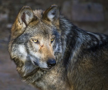 Mexican Gray Wolf (Canis Lupus...