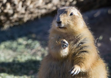 Fat Black-tailed Prairie Dog (Cynomys Ludovicianus)