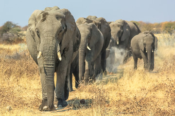 A herd of African elephants moving in Ethosa National Park Namibia on yellow grass savanna.