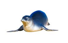 Hawaiian Monk Seal Posing On T...