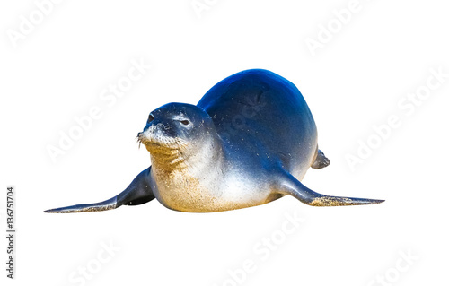 Hawaiian monk seal posing on the beach, isolated on white background.