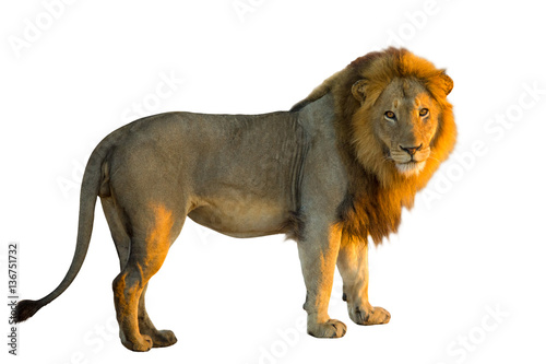 Side view of a standing Lion, Panthera Leo, isolated on white background with natural light of sunset.