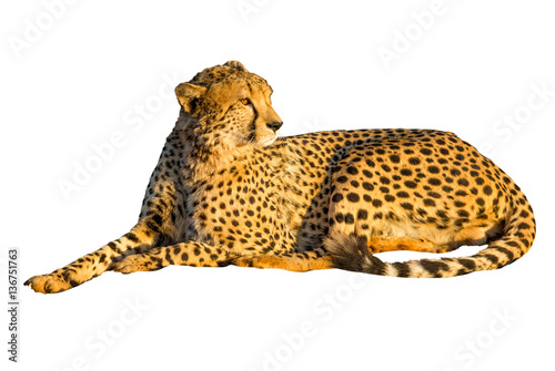 Cheetah lying down in front isolated, on white background. The cheetah is the light of sunset.