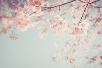 FototapetaBeautiful vintage sakura tree flower (cherry blossom) in spring. retro color tone style.