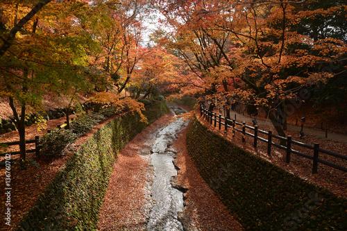 Foto auf Leinwand Garten Autumn scenery. Beautiful red maple leaves fall in park.