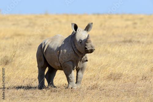 Fototapeta premium African white rhino