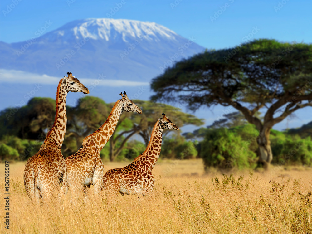 Fototapeta Three giraffe on Kilimanjaro mount background