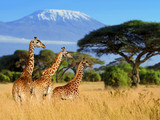 Fototapeta Sawanna - Three giraffe on Kilimanjaro mount background