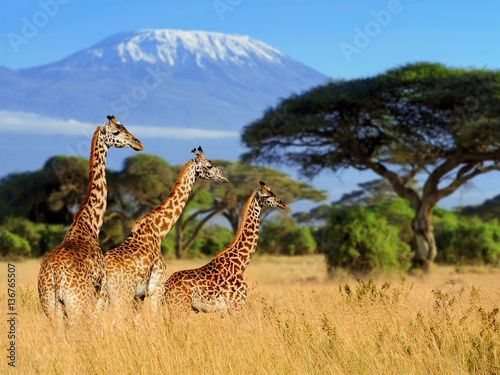 Spoed Fotobehang Giraffe Three giraffe on Kilimanjaro mount background