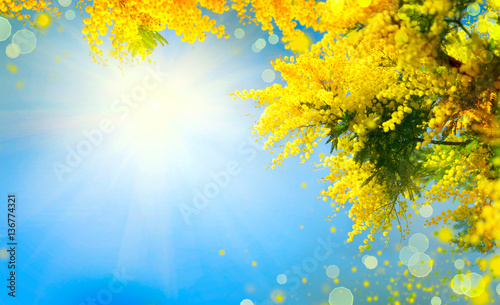In de dag Narcis Mimosa. Spring flowers Easter background. Blooming mimosa tree over blue sky