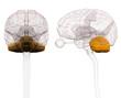 canvas print picture - Cerebellum Brain Anatomy - 3d illustration