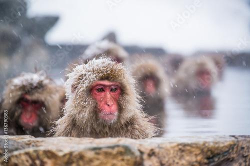 Snow Monkey Fototapet
