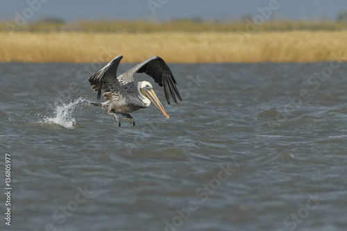 Dauphin Brown pelican (Pelecanus occidentalis) immature flying above gulf of mexico, Bolivar peninsula, Texas, USA
