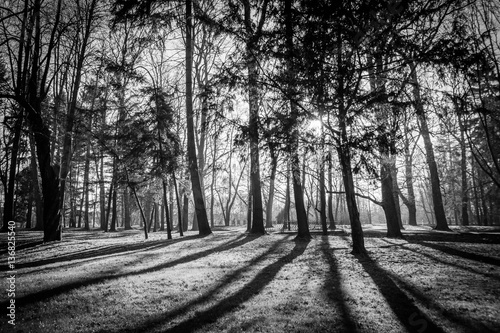 Fototapeta drzewa   czarno-bialy-drzewostan