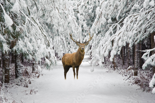 Beautiful red deer stag in snow covered festive season Winter fo