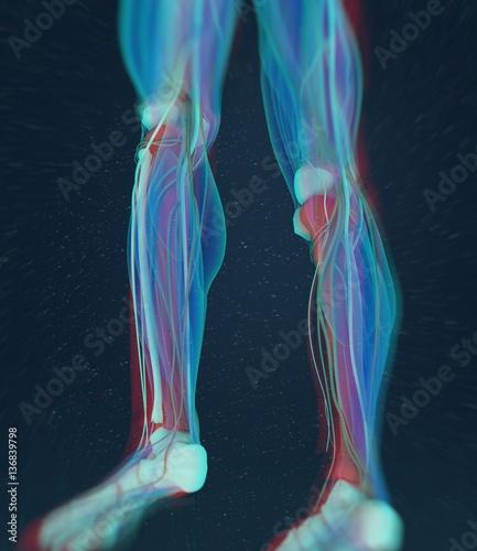 Human anatomy, male Tibia. Shin bone. 3D Illustration. - Buy this ...