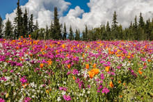 Colorful Wildflower Meadow With Forest Background, Kenai Peninsula, Alaska