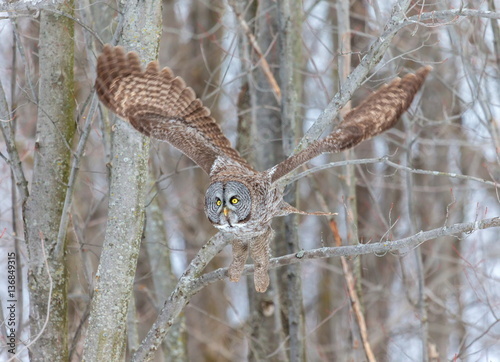 Keuken foto achterwand Uil The great grey owl or great gray is a very large bird, documented as the world's largest species of owl by length. Here it is seen searching for prey in Quebec's harsh winter.