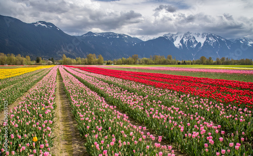 colorful tulip field surrounded by snow capped mountains in Agassiz, British Columbia, Canada
