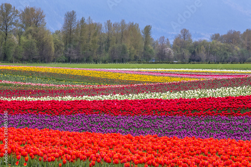 colorful rows of tulips in Agassiz, British Columbia, Canada